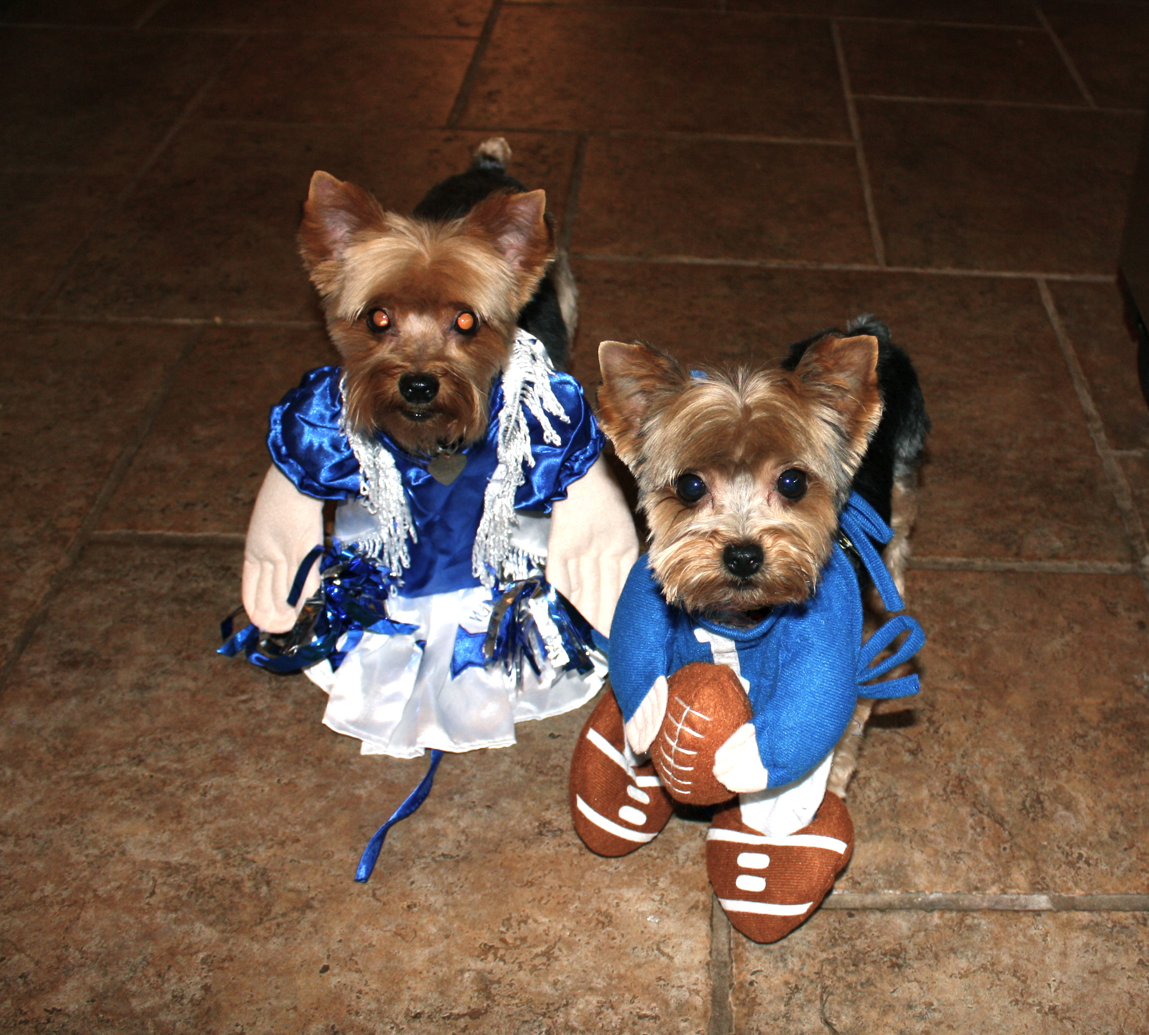 Roller skates for dogs - 54 Best Images About Yorkie Love On Pinterest Pets Puppys And Yorkies